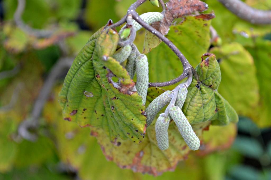 harry lauder walking stick fruits