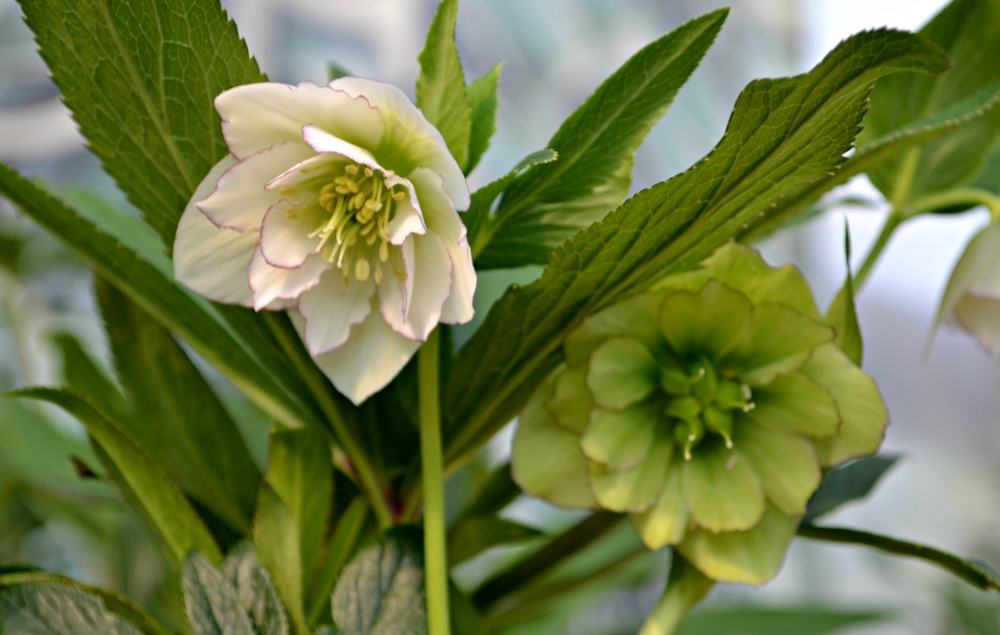 helleborus florence picotee flower and bud