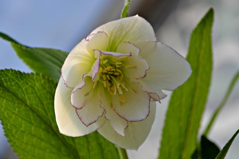 helleborus florence picotee flower