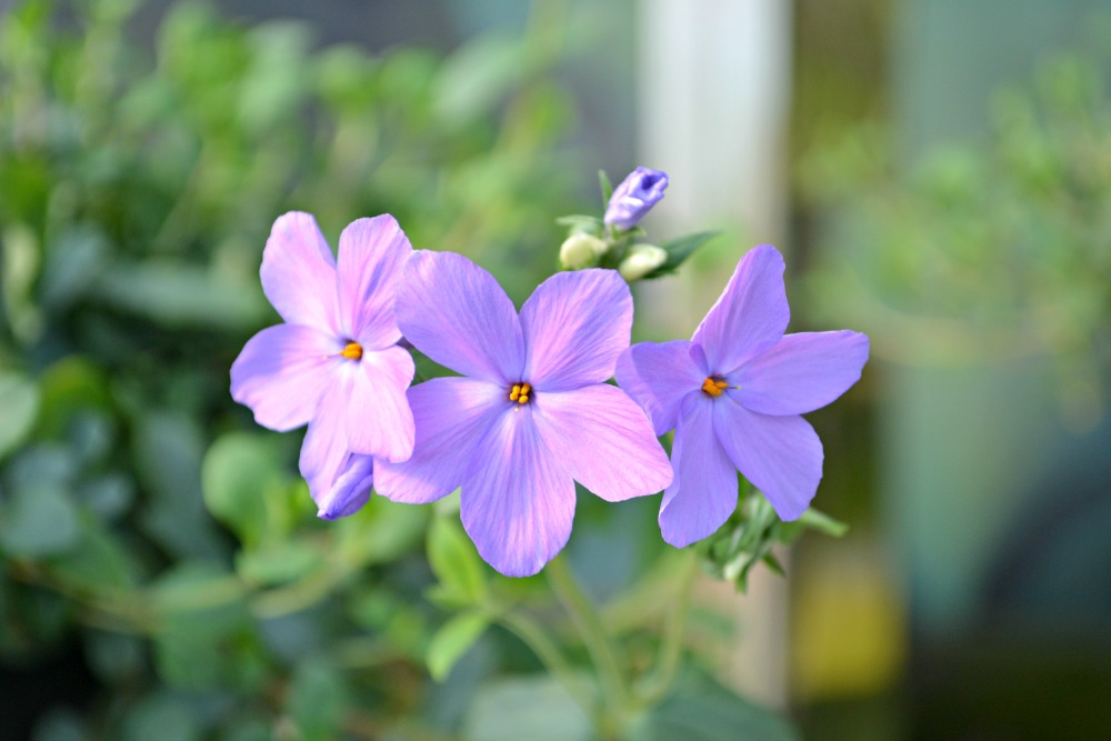sherwood purple woodland phlox flower