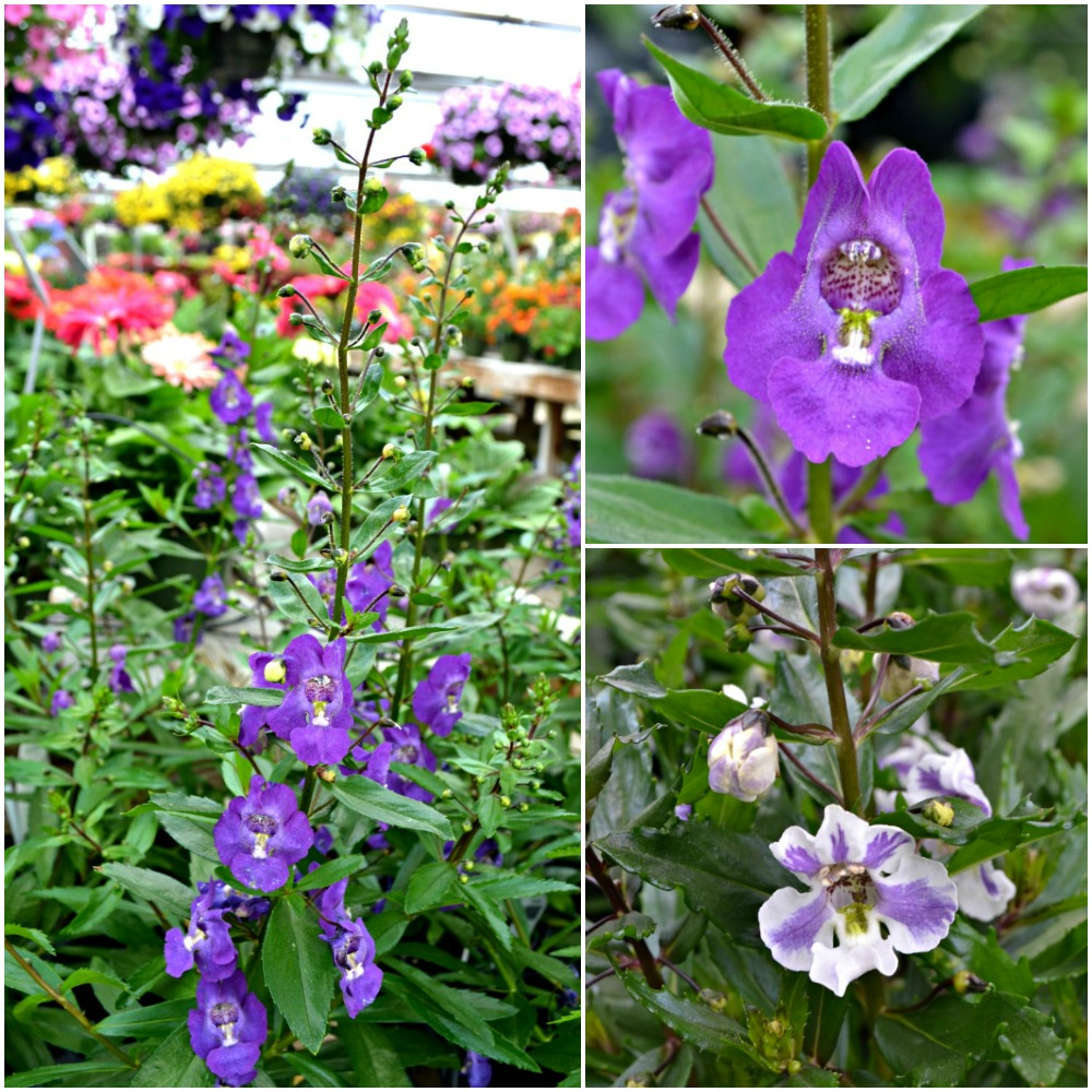 Angelonia Collage