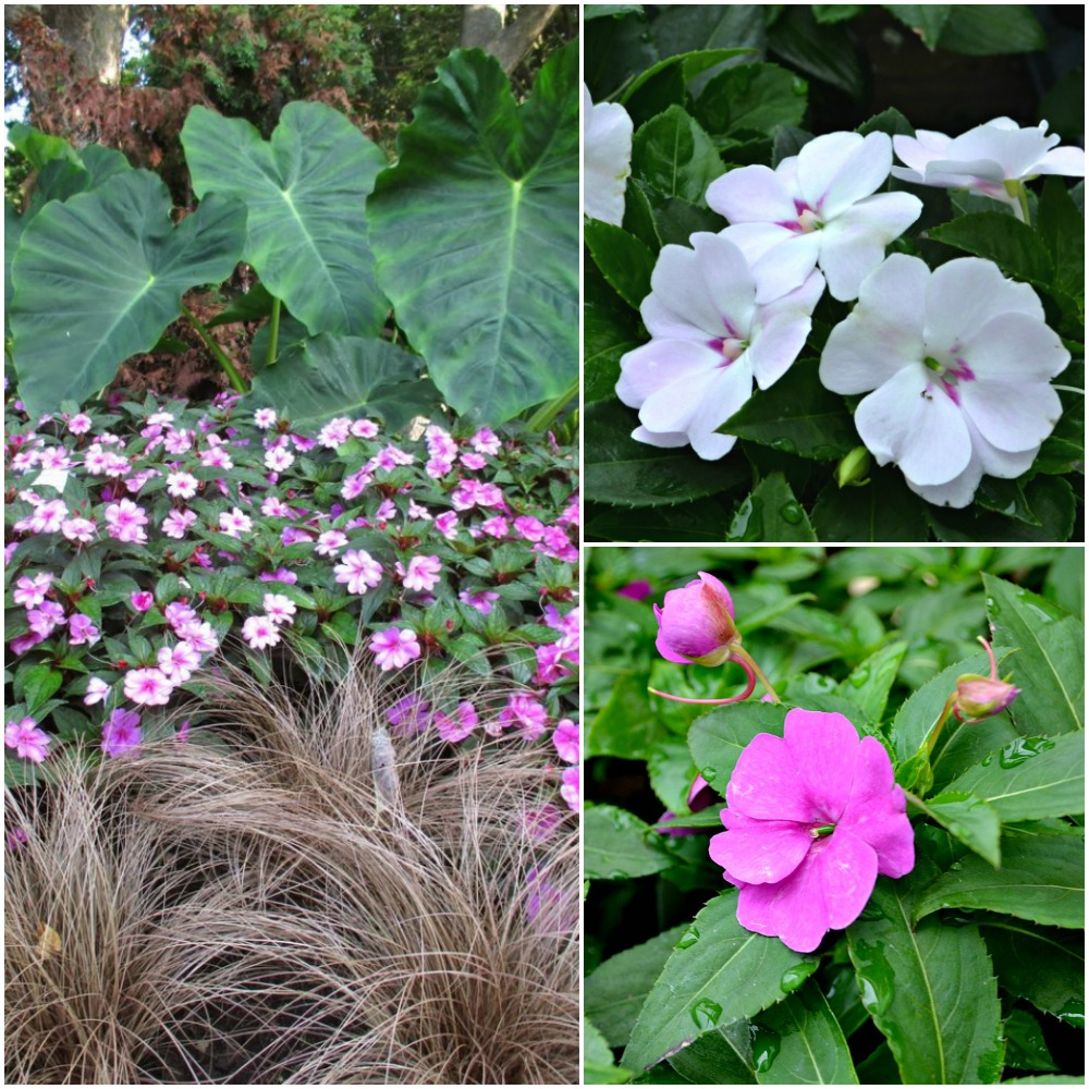 Bounce Impatiens Collage
