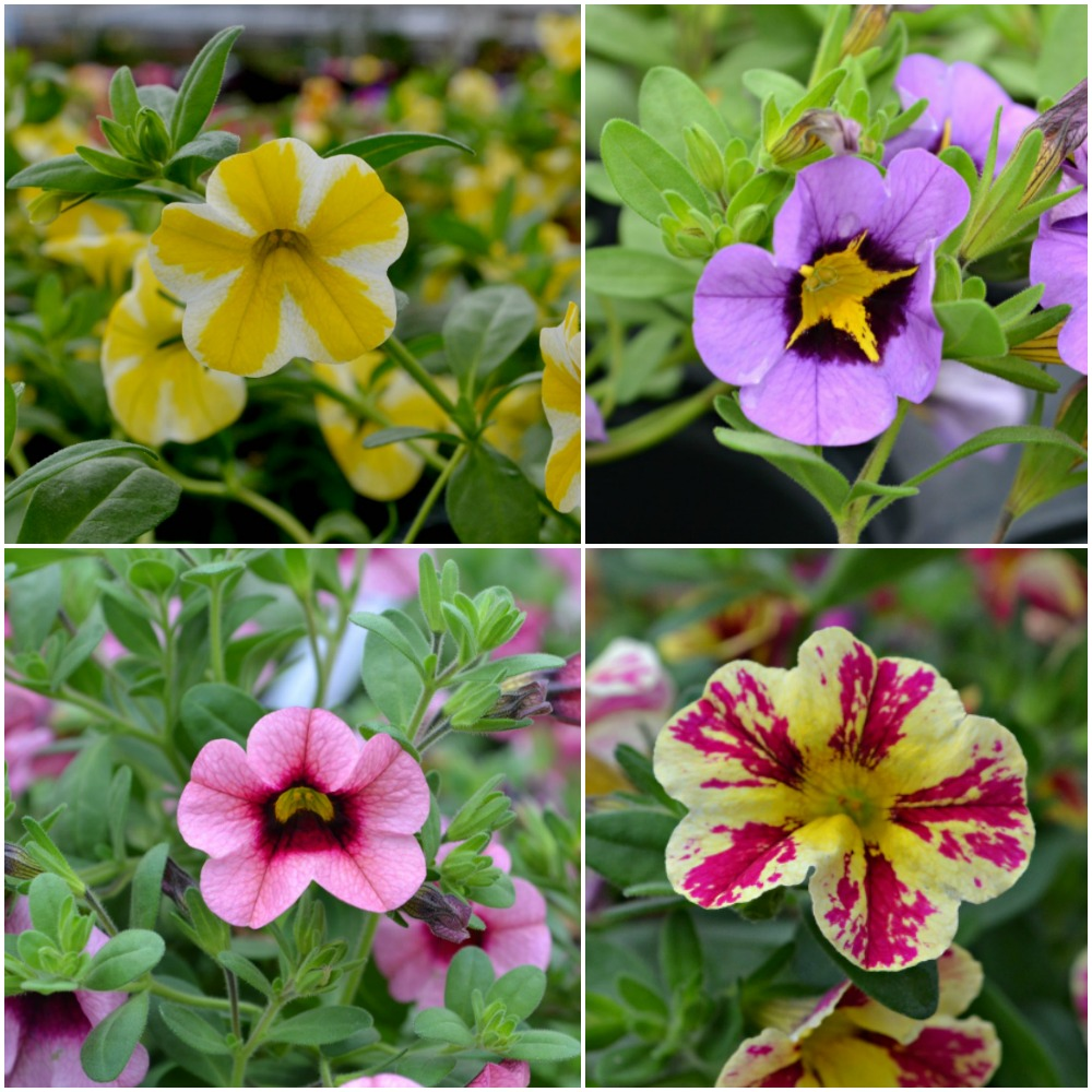 Calibrachoa Superbells Collage