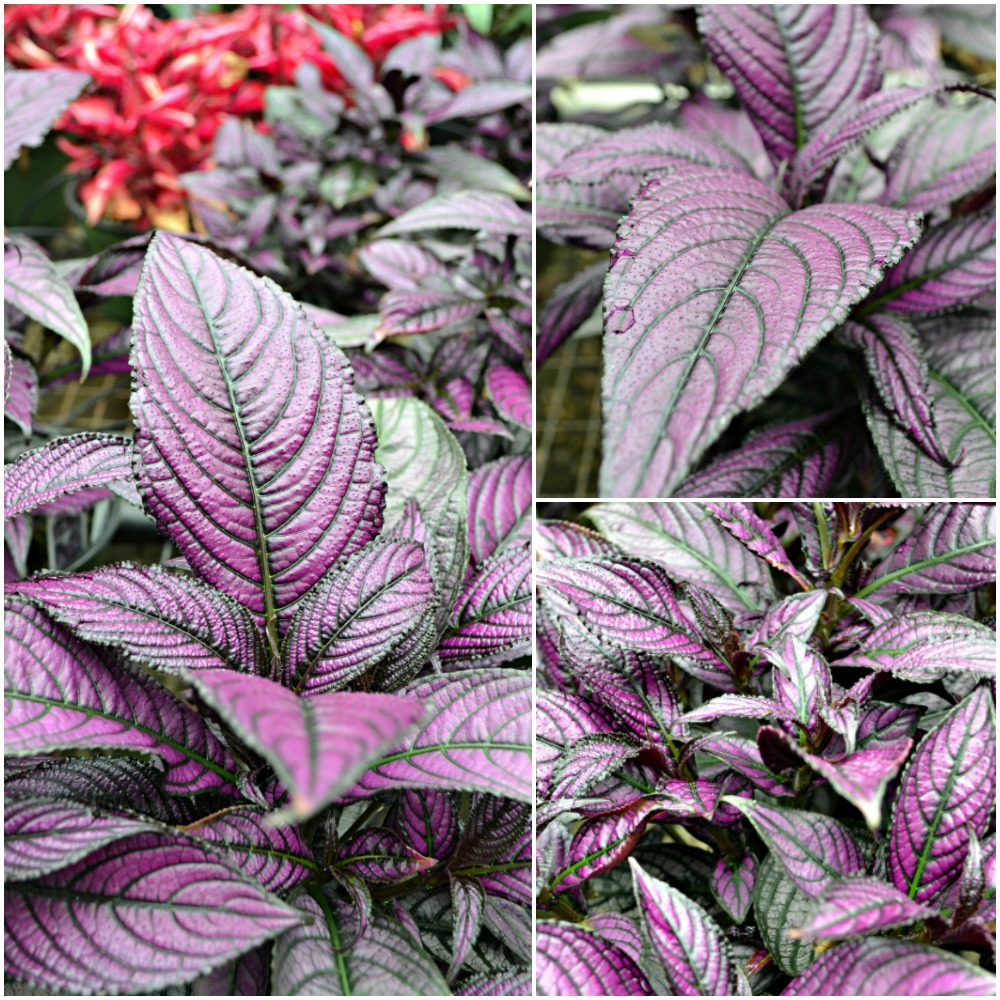 Persian Shield Collage