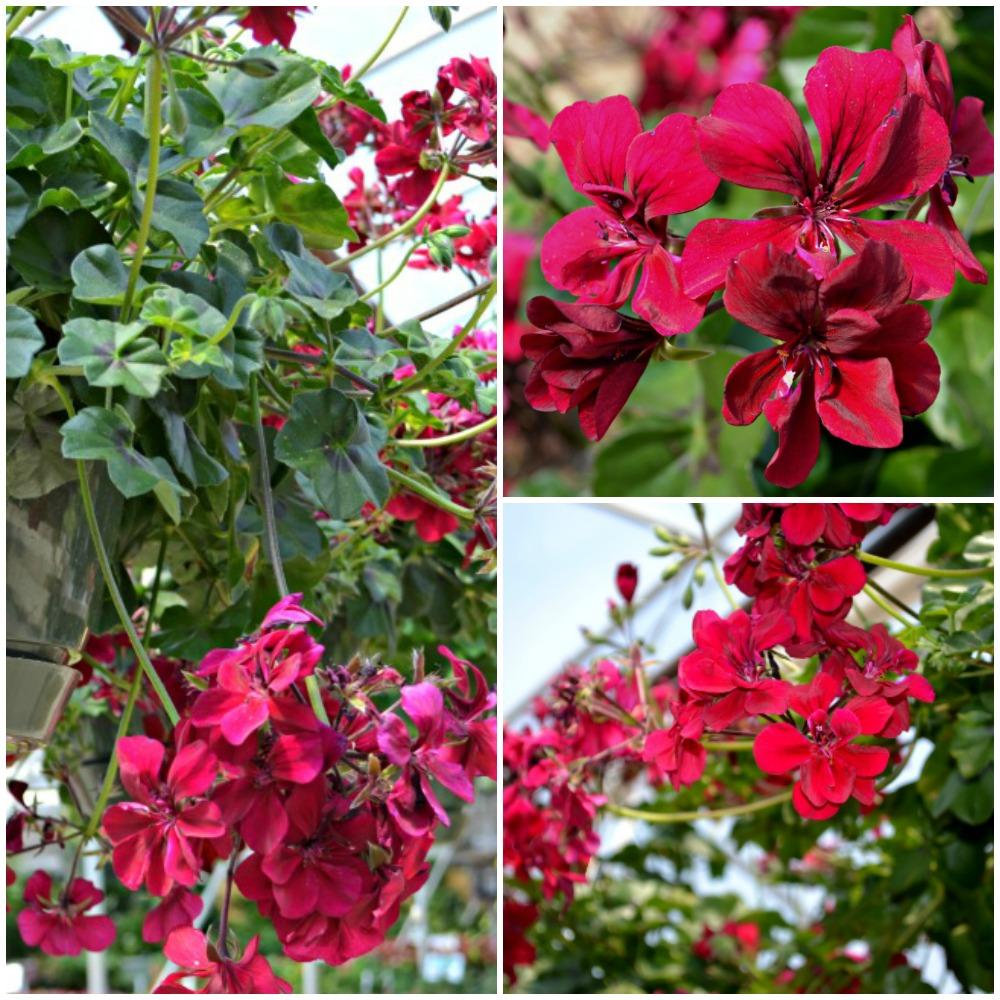burgundy ice geranium Collage - Copy
