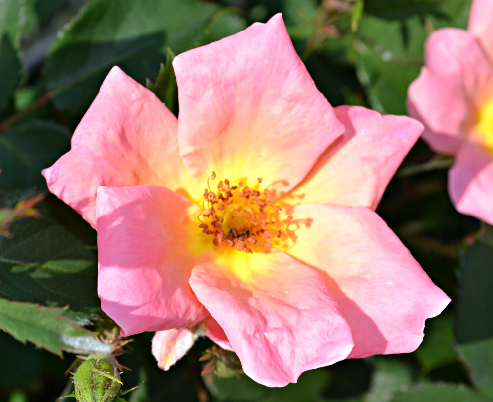 rainbow knock out rose close