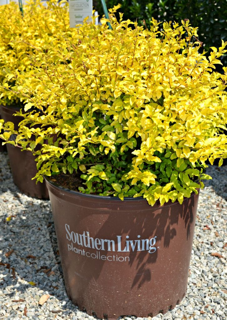 sunshine ligustrum southern living pot
