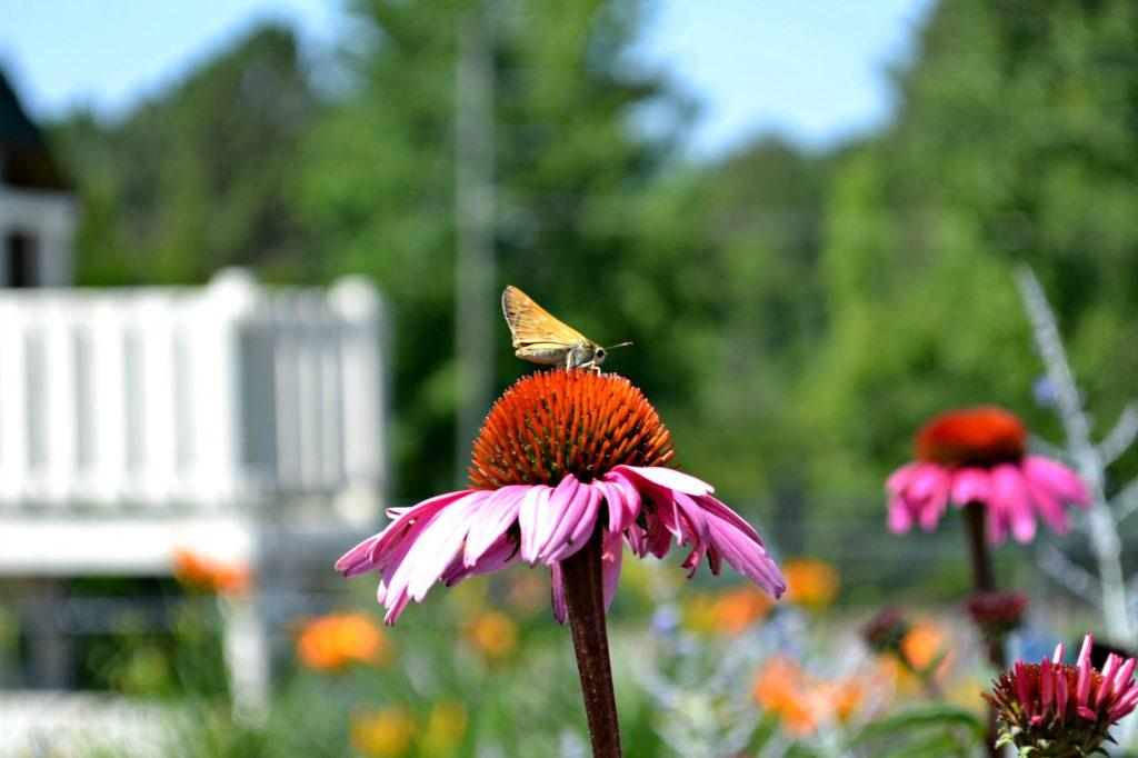moth echinacea