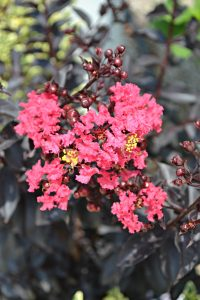 Midnight Magic Crepe Myrtle