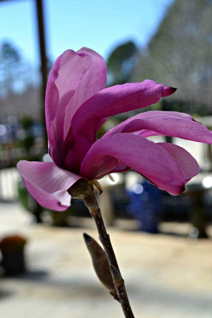 jane-magnolia