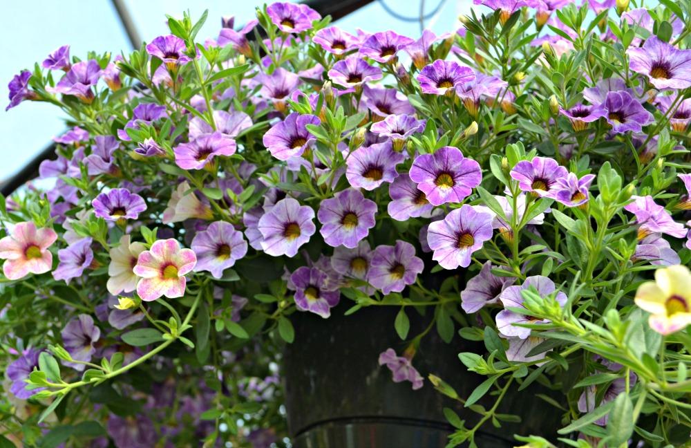 Top Hanging Baskets For Full Sun Fairview Garden Center