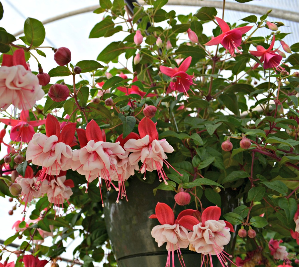 Top 5 hanging baskets for shade fairview garden center bright showy pendulous flowers contrast nicely with the dark green foliage blooms throughout the summer and comes in a variety of pink purple and white izmirmasajfo