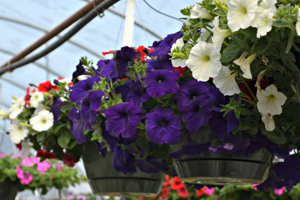 Top 5 hanging baskets for sun fairview garden center 5 petunias and million bells mightylinksfo