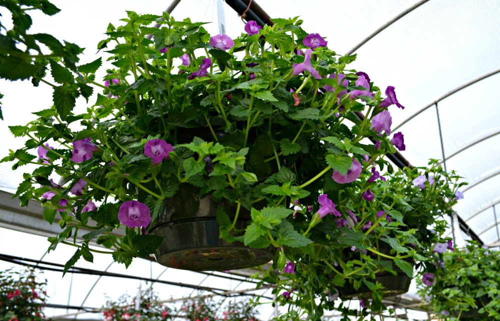 Top 5 hanging baskets for shade fairview garden center flowers range in color from purple to white to yellow and last from spring until first frost upright trailing varieties available mightylinksfo