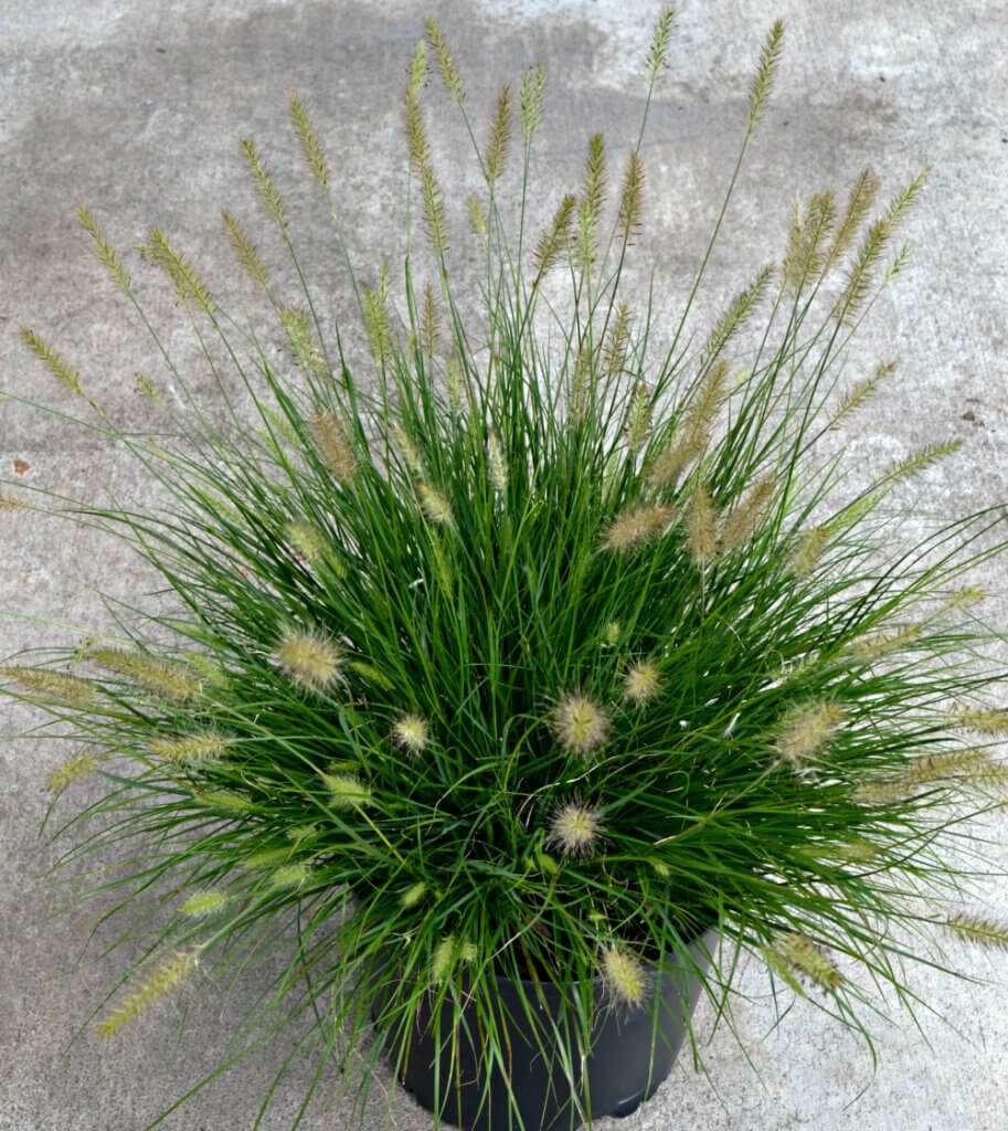 Small Ornamental Grasses Fairview Garden Center