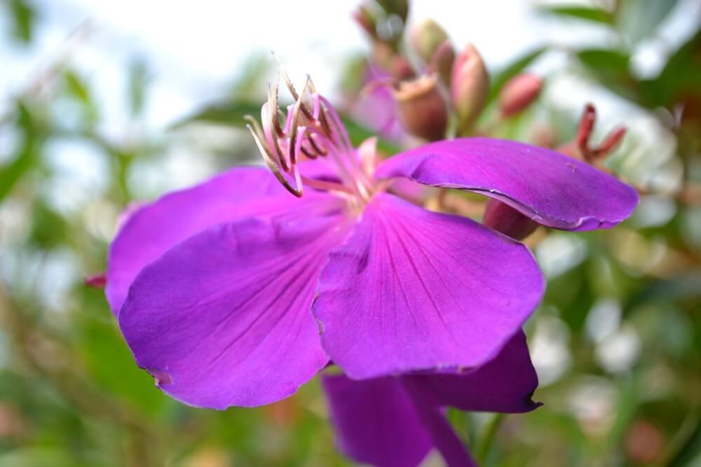 purple tibouchina
